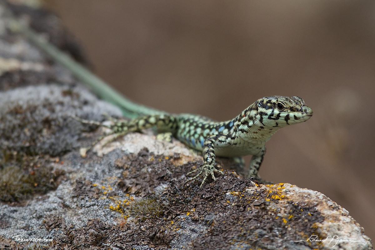 common wall lizard podarcis muralis On common wall