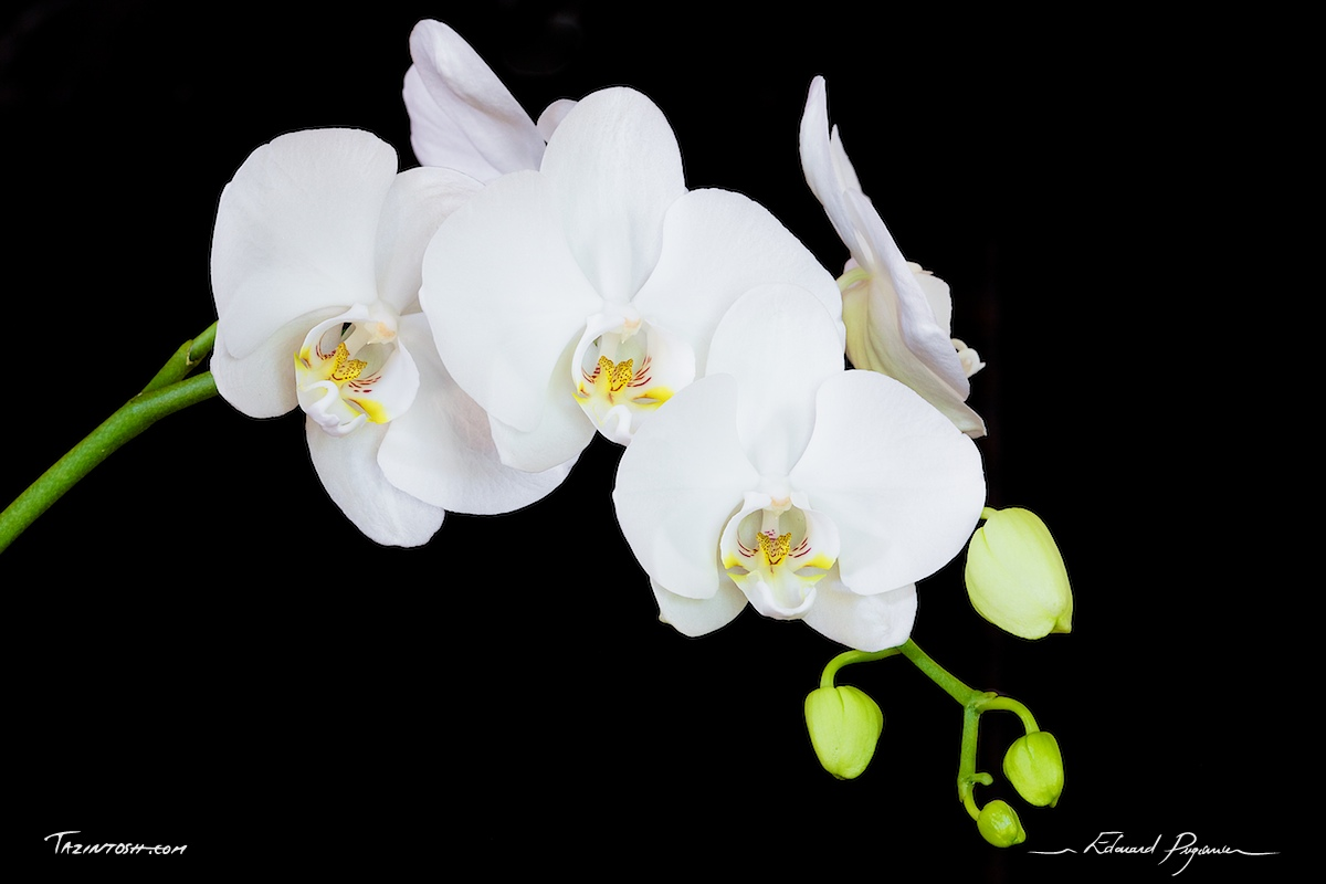 orchidee blanche facebook